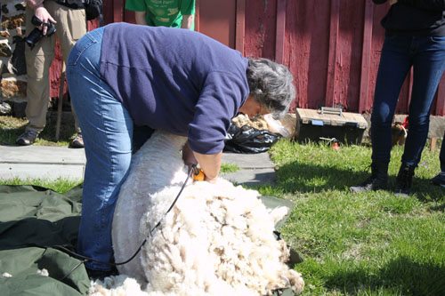 shearingday2014004