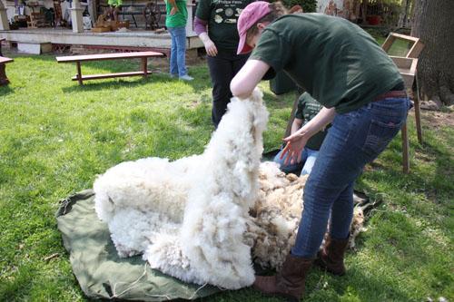 shearingday2014049