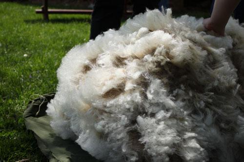 shearingday2014050