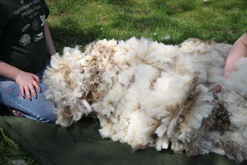shearingday2014051