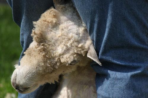 shearingday2014061